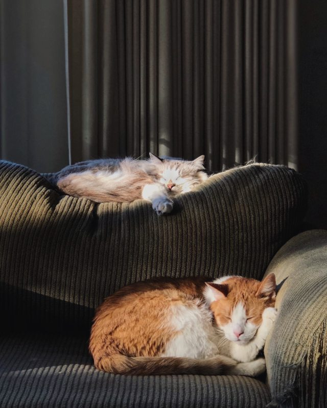 2 cats napping on a sofa